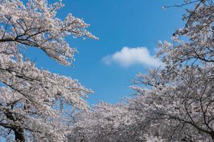 北上展勝地の桜並木の写真素材 [FYI01812424]