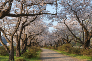 北上展勝地の桜並木の写真素材 [FYI01812496]