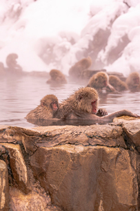 野猿公苑の日本猿の写真素材 [FYI01812518]