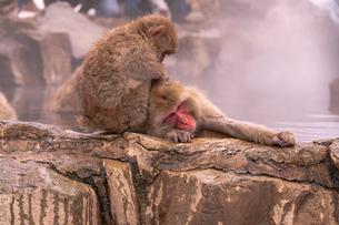 野猿公苑の日本猿の写真素材 [FYI01812547]