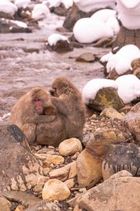 野猿公苑の日本猿の写真素材 [FYI01812582]