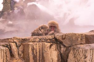 野猿公苑の日本猿の写真素材 [FYI01812588]