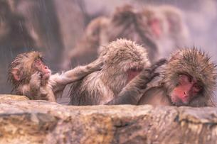 野猿公苑の日本猿の写真素材 [FYI01812595]