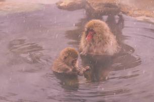 野猿公苑の日本猿の写真素材 [FYI01812596]