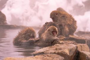 野猿公苑の日本猿の写真素材 [FYI01812600]