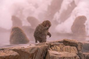 野猿公苑の日本猿の写真素材 [FYI01812606]