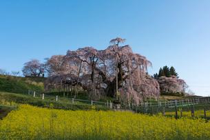 満開の三春の滝桜の写真素材 [FYI01812613]