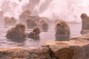 野猿公苑の日本猿の写真素材 [FYI01812624]