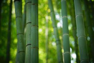 鎌倉報国寺の竹林の写真素材 [FYI01812626]