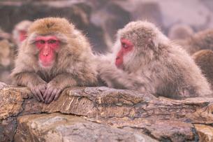 野猿公苑の日本猿の写真素材 [FYI01812645]