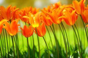 昭和記念公園に咲く満開のチューリップの写真素材 [FYI01812649]