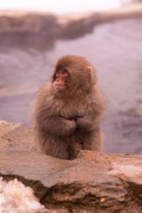 野猿公苑の日本猿の写真素材 [FYI01812689]