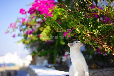ブーゲンビリアの匂いを嗅ぐミコノスタウンの白いネコの写真素材 [FYI01812706]