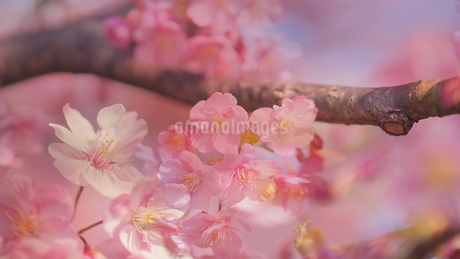 木場 大横川沿いに咲く河津桜の写真素材 [FYI01812707]