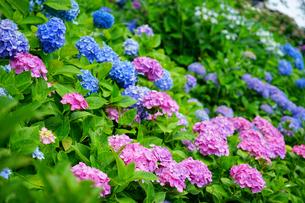 長谷寺の見頃の紫陽花の写真素材 [FYI01812721]