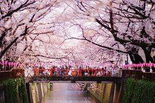 目黒川の桜の写真素材 [FYI01812728]