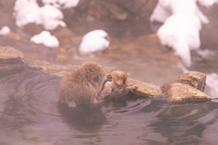 野猿公苑の日本猿の写真素材 [FYI01812735]