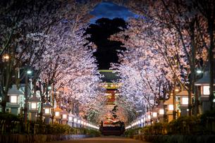 桜満開の鎌倉・段葛の写真素材 [FYI01812740]