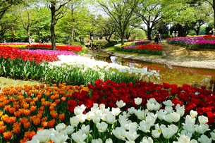 昭和記念公園のチューリップの写真素材 [FYI01812773]