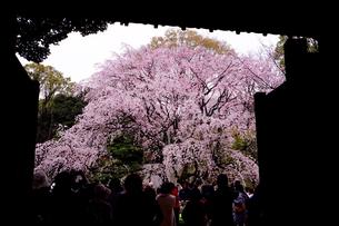 六義園の桜の写真素材 [FYI01812790]