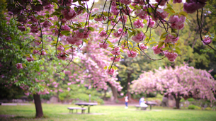 清澄庭園の桜の写真素材 [FYI01812803]