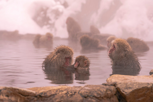 野猿公苑の日本猿の写真素材 [FYI01812808]
