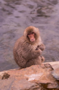 野猿公苑の日本猿の写真素材 [FYI01812820]