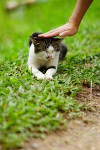 チェンマイで頭をなでられるネコの写真素材 [FYI01812823]