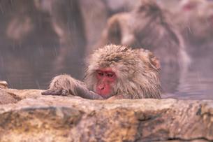 野猿公苑の日本猿の写真素材 [FYI01812827]