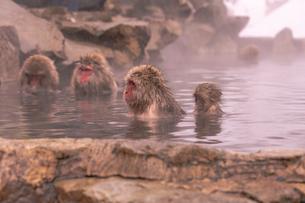 野猿公苑の日本猿の写真素材 [FYI01812829]