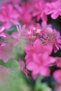 紫陽花(ダンスパーティ)の写真素材 [FYI01812836]