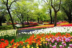 昭和記念公園に咲く満開のチューリップの写真素材 [FYI01812847]