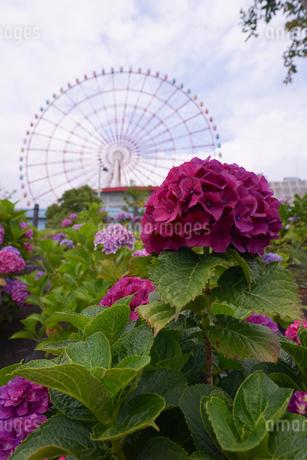 青海パレットタウンの観覧車をバックに咲く紫陽花の写真素材 [FYI01812852]