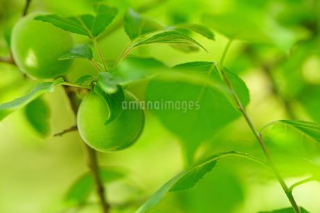 梅の実の写真素材 [FYI01812861]