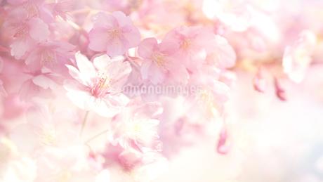 木場 大横川沿いに咲く河津桜の写真素材 [FYI01812870]