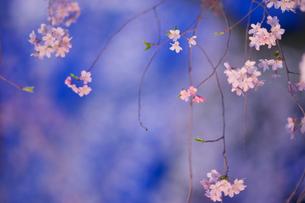 六義園の枝垂れ桜の写真素材 [FYI01812872]