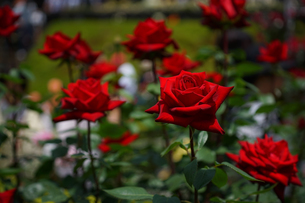 古河庭園で咲く真紅のバラの写真素材 [FYI01812875]