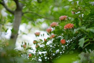 樹上に咲くバラの写真素材 [FYI01812905]