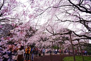 六義園の桜の写真素材 [FYI01812918]