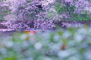 千鳥ヶ淵の桜の写真素材 [FYI01812938]
