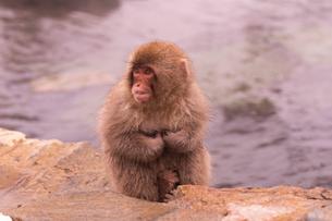 野猿公苑の日本猿の写真素材 [FYI01812946]