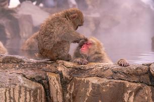 野猿公苑の日本猿の写真素材 [FYI01812957]