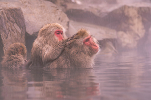 野猿公苑の日本猿の写真素材 [FYI01812992]