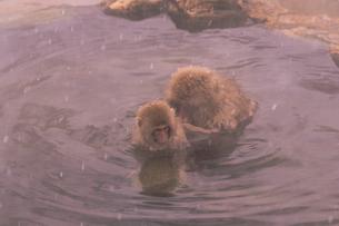 野猿公苑の日本猿の写真素材 [FYI01813004]