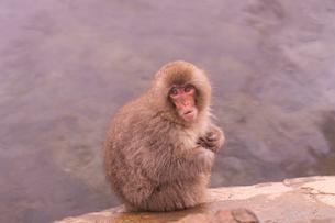 野猿公苑の日本猿の写真素材 [FYI01813011]