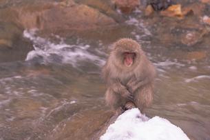 野猿公苑の日本猿の写真素材 [FYI01813014]
