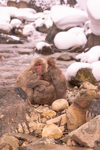 野猿公苑の日本猿の写真素材 [FYI01813022]