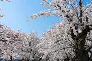 北上展勝地の桜並木の写真素材 [FYI01813044]