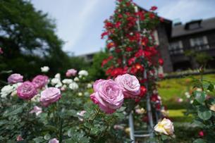 古河庭園で咲くピンク色のバラの写真素材 [FYI01813047]