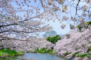 千鳥ヶ淵の桜の写真素材 [FYI01813060]